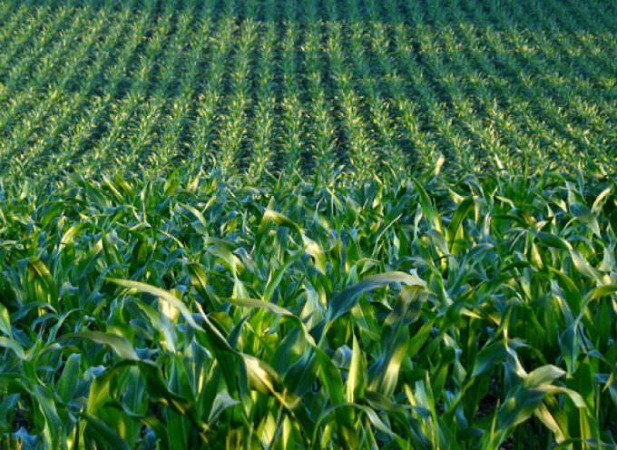 Ogm: Zaia si dice soddisfatto del no della Germania al mais geneticamente modificato