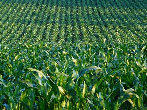 Friuli Venezia Giulia: Nasce la prima coltivazione di mais Ogm italiana