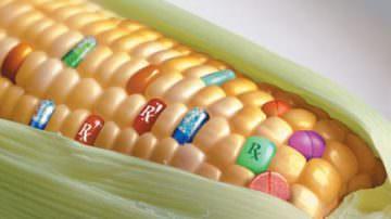 Studio francese, mais OGM tossico per animali e uomo