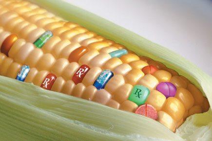 """L'Associazione italiana maiscoltori: """"Nel nostro paese non esistono campi di mais OGM free, un seme su 2000 può essere Biotech"""""""