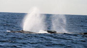 Anno della biodiversità: Galan assicura il massimo impegno dell'italia contro la caccia alle balene