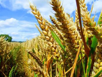 Grano duro di qualità: con l'azzeramento dei dazi Ue a grave rischio gli agricoltori italiani