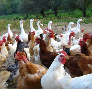 Da oggi il Settore Agroalimentare Avicolo e Cunicolo si incontra alla Fiera di Forlì: inizia la 46° FierAvicola