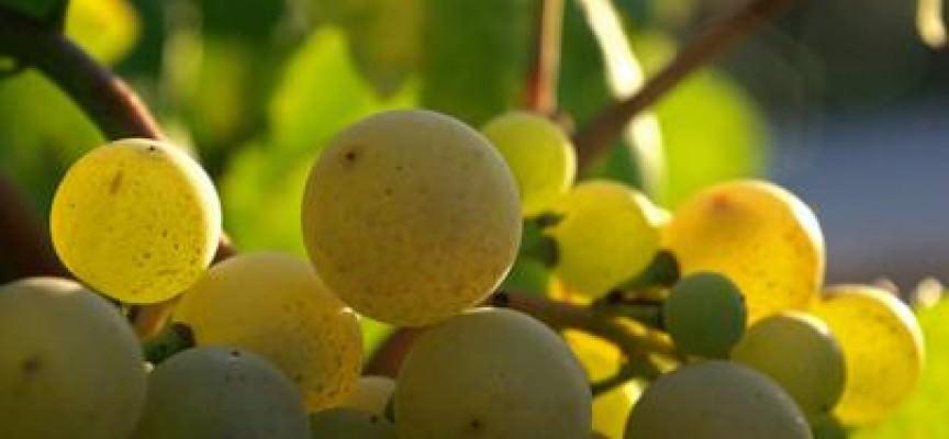 Alimentare: Residui di pesticidi nell'uva da tavola importata
