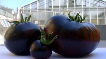 Sun Black, il pomodoro nero che combatte l'invecchiamento, diventa un marchio registrato
