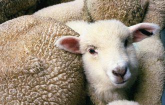 UE, il prezzo della carne ovina si stabilizza