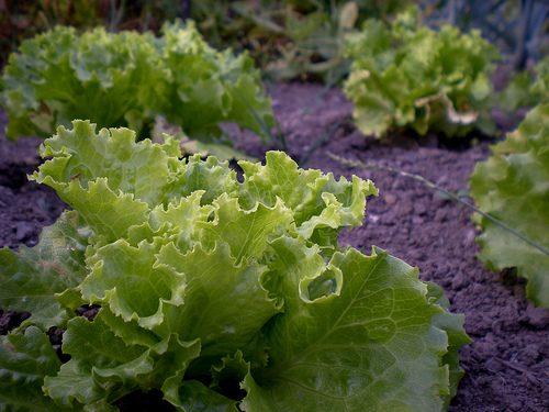 L'insalata fa bene, ma solo con il condimento adatto