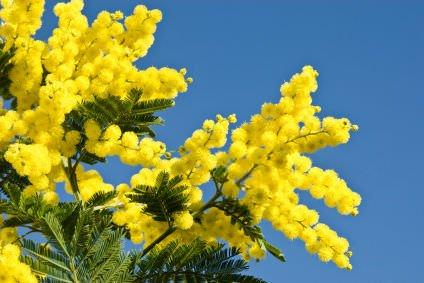 Festa delle donne, mimose: Prezzi inferiori fino al 20% rispetto al 2010