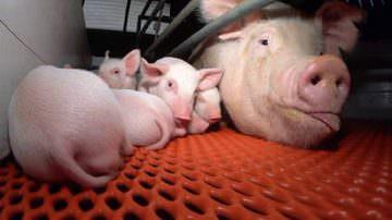 """Febbre suina, Legambiente: """"Solo abolendo il sistema d'allevamento intensivo industriale si fermeranno le epidemie animali"""""""