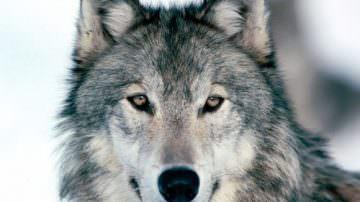A Cuneo ritorna il lupo. Pastori in allarme