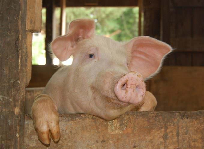 Bologna: Influenza AH1N1 – L'allarmismo sta provocando una grave crisi di mercato del settore suinicolo