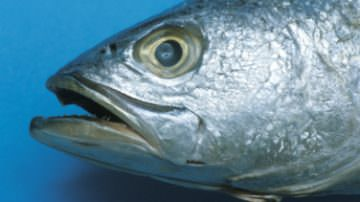 Pesce bio, in Puglia torna il BiolFish