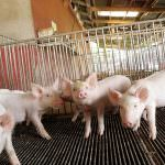 """Farmaci negli allevamenti: carne """"avvelenata"""", batteri sani"""
