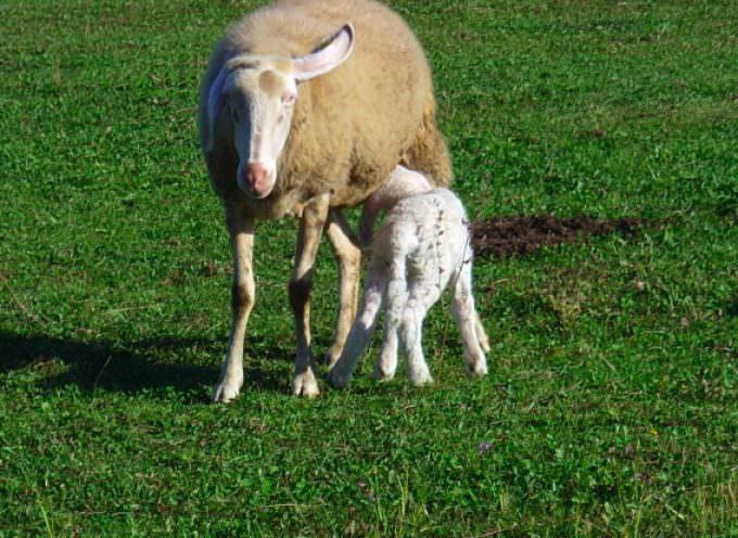 Menu di Pasqua: Quali le differenze tra abbacchio, agnellone o castrato?