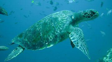 Eccezionale ritrovamento di Tartaruga Verde (Chelonia mydas) nel basso Adriatico