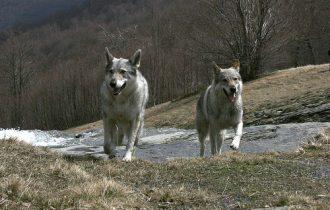 Lupi e Cinghiali sulle Alpi. E' scontro Coldiretti-WWF