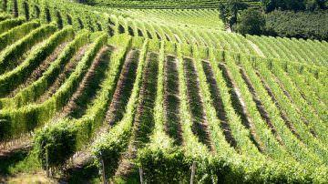 Energia dalle vigne: ad Alba si apre una nuova frontiera per gli eco-combustibili