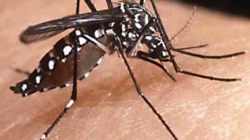 Una zanzara OGM contro la dengue