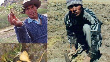 La Maca del Perù