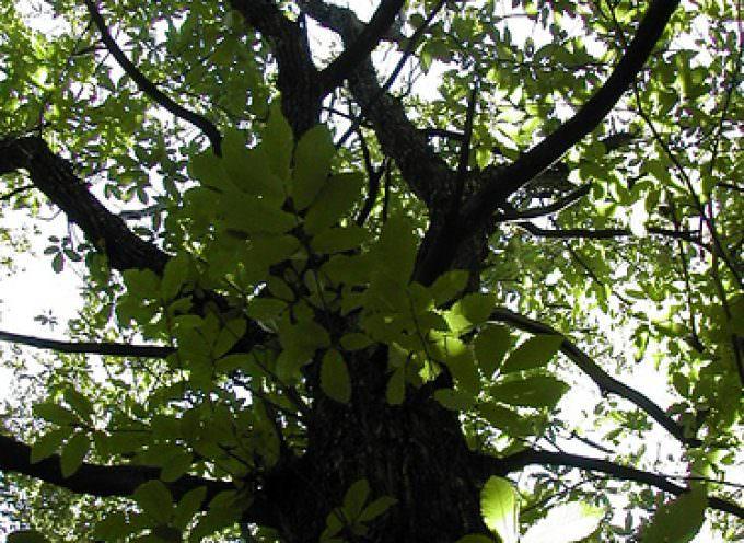 E' il Castagno l'albero che assorbe più Co2