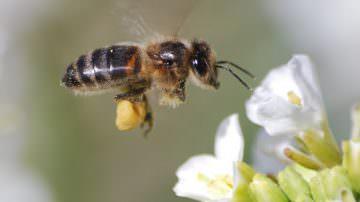 Miele di acacia: Nonostante il maltempo il raccolto è salvo
