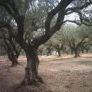 Il gelo fa strage di ulivi