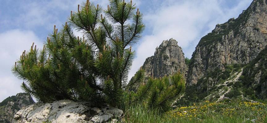 Il pino mugo la forza vitale dei monti for Monti del trentino