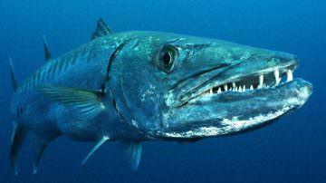 Italia tropicale: nei mari liguri arriva il barracuda