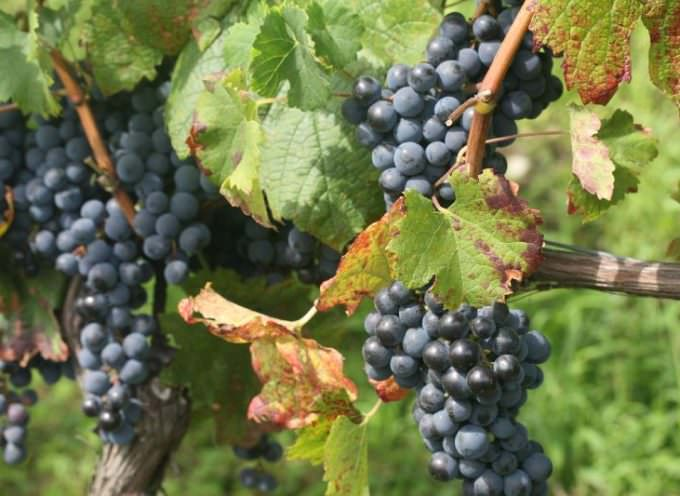 Vendemmia 2009: abbondante e di qualità, ma per i produttori si preannuncia un crollo dei prezzi delle uve