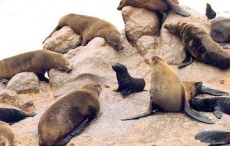 Namibia: ambientalisti contro la caccia alle foche