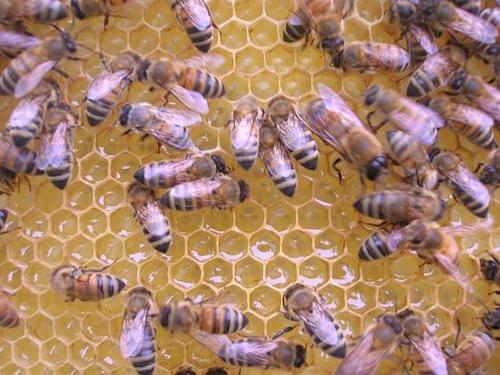 Così il miele agisce contro i batteri
