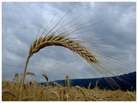 """Trattato UE-Canada: puzza di """"grano arso"""" per gli agricoltori Alta Murgia"""