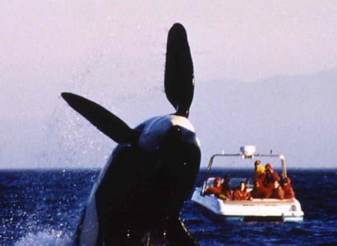 Le Balene? Rende più osservarle che ucciderle