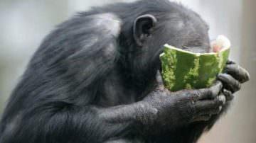 Scimmie: imitarle per diventarne amici