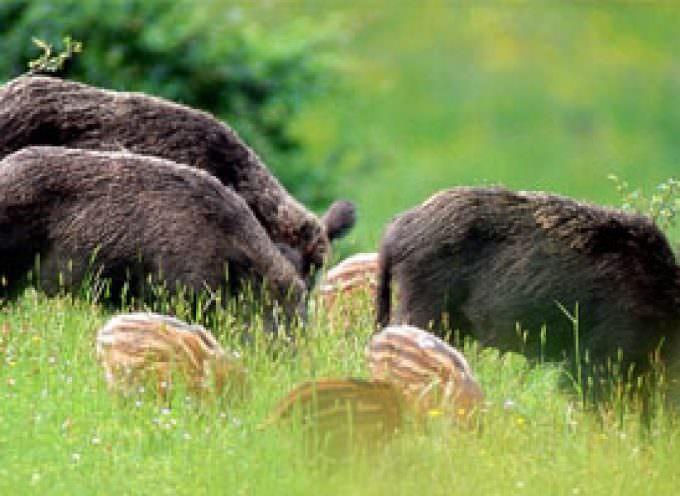 Agricoltura: è drammatica emergenza per i danni causati dalla fauna selvatica