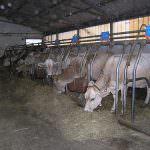 Nelle stalle venete gli animali combattono il caldo con docce e ventilatori