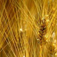 FAO: Coldiretti, fame aumenta nonostante prezzi grano dimezzati