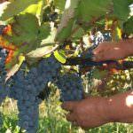 Produzione vino 2013: L'Italia sorpassa la Francia