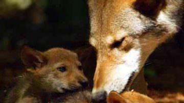 Uccisa una lupa e i suoi tre cuccioli – La provincia di Foggia non permetterà il ripetersi di atti di questa violenza