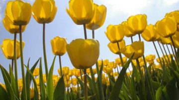 Il 16 aprile da Noordwijk a Haarlem, in Olanda, la Parata dei Tulipani