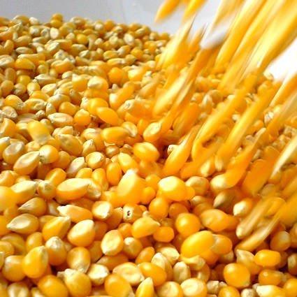 La Commissione Europea sdogana il mais Ogm della Sygenta