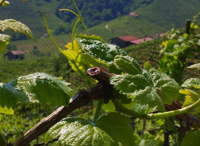 Presentazione del progetto Il vitigno Accardina a Montaldo Mondovì
