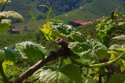 Presentazione del progetto il vitigno accardina a montaldo for Nicchia sinonimo
