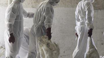 Cile, l'influenza suina infetta anche i tacchini