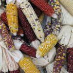 Ue: Venerdì i Ministri si pronunciano sull'autorizzazione del nuovo mais Ogm