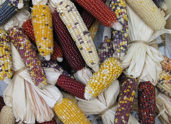 Pioneer: l'ibrido di mais resistente alla siccità sul mercato Usa dal 2010