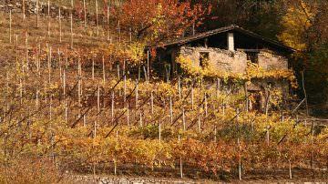 Trentino: Tornano le antiche viti autoctone