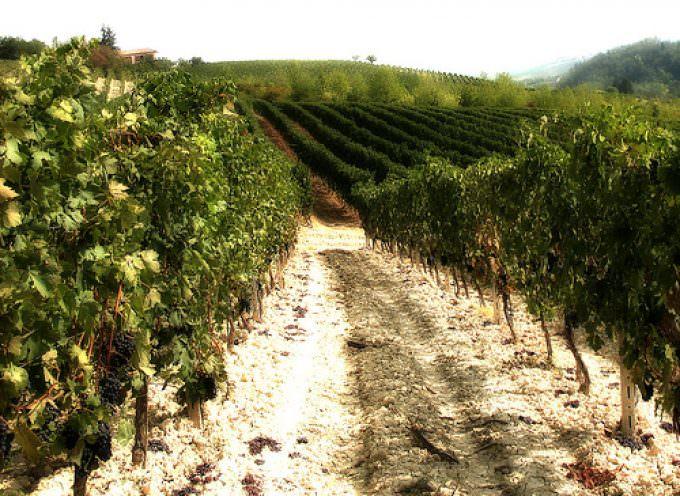 Piemonte: E' cominciata la vendemmia per l'Asti docg