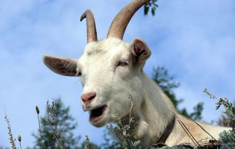 Per Natale regala una capra, bastano 50 Euro per regalare un sorriso