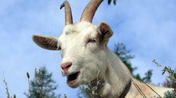 Latte di capra: buono, sano e simile al latte umano